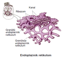 Endoplazmik_retikulum