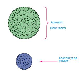 enzim kisimlari