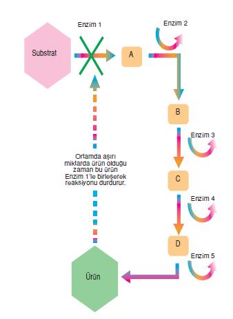gen_enzim_iliskisi