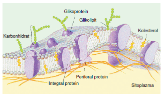 glikolipid