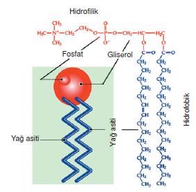 hidrofilik
