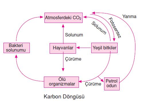 karbon_dongusu
