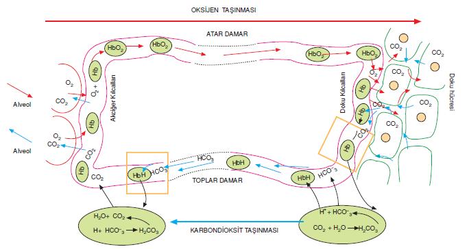 Hücrelerde biriken Karbondioksit (CO2) gazı dışarı atılmıyor! ile ilgili görsel sonucu