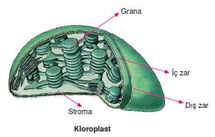 kloroplast