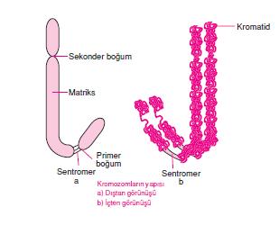kromozom_yapisi