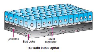 kubik_epitel