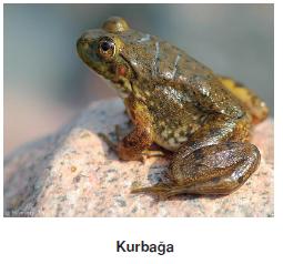 kurbaga