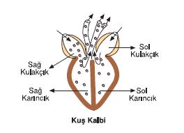 kus_kalbi