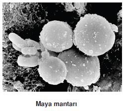 maya_mantari