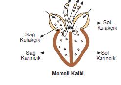 memeli_kalbi