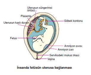 nsanda_fetusun_uterusa_baglanmasi