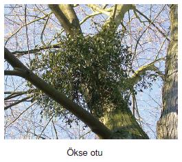 okse_otu