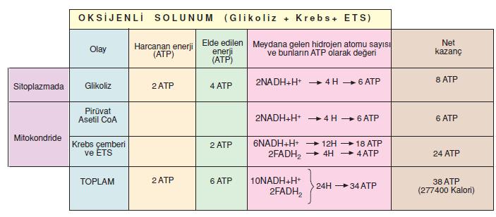 oksijenli_solunum