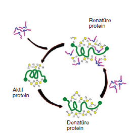 proteinlerin_yapisi
