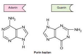 purin_bazlari