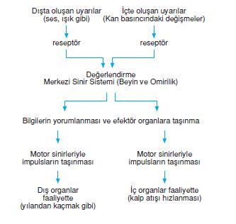 sinir_sistemi