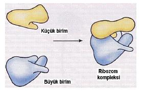 sitoplazma_001