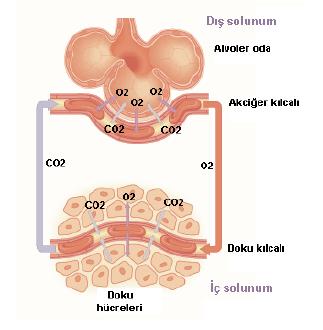 solunum_sistemi