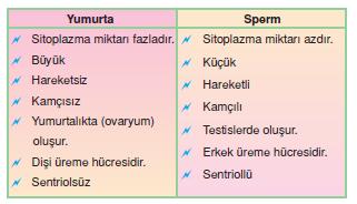 yumurta_-_sperm