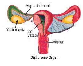 dişi ürüme organı